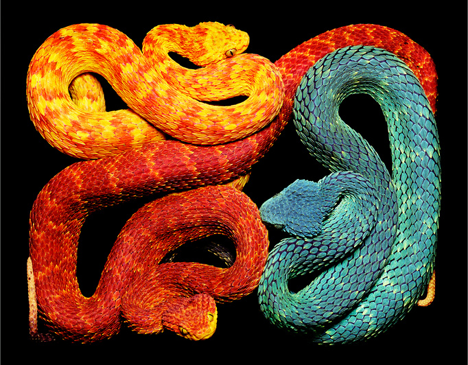 African Bush Vipers Atheris squamigera