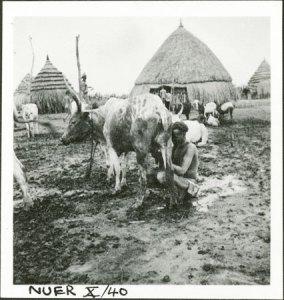 Une femme nuer en train de tirer le lait.  Photo d'Edward Evan Evans-Pritchard, juillet 1935. Archives du Pitt Rivers Museum.